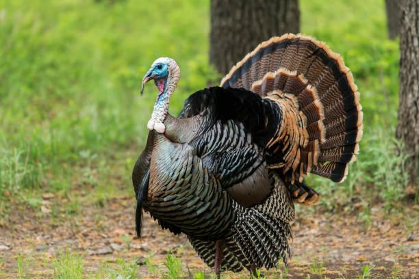 Wild Rio Grande Turkey stock photo
