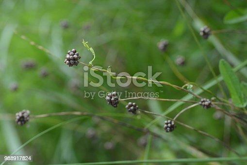 Fruits of Wild rocambole