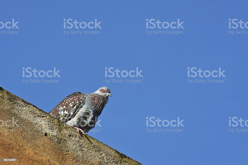 Wild Rock Pigeon royalty-free stock photo