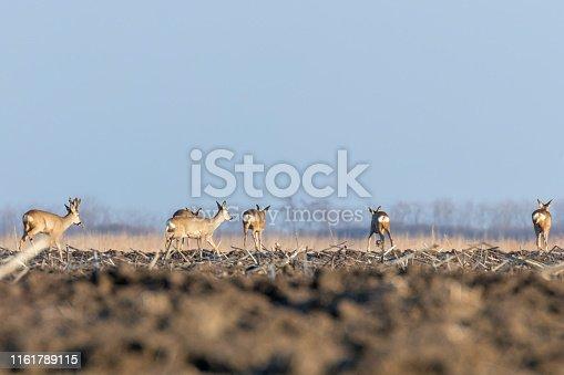 Wild roe deer in a field, spring time
