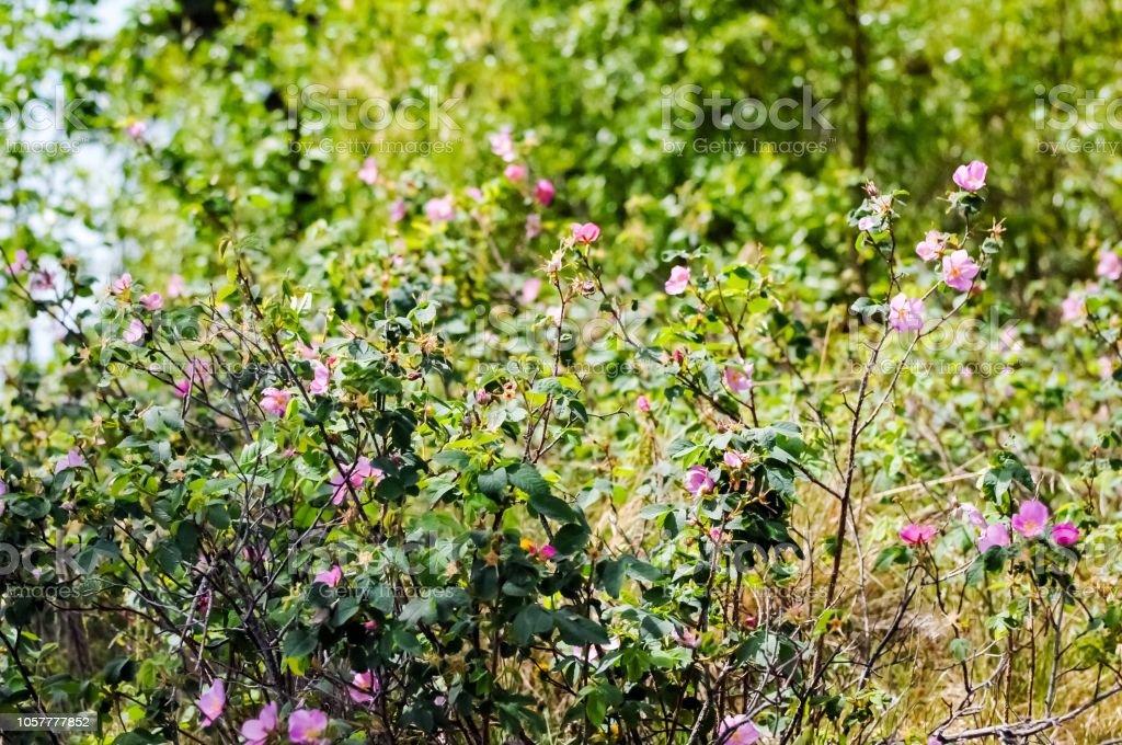 Wild Rose Alaska Stock Photo Download Image Now Istock