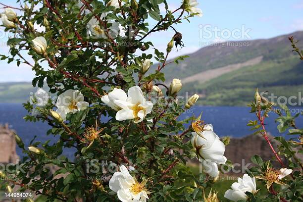 Wild rose at loch ness in scotland and castle picture id144954074?b=1&k=6&m=144954074&s=612x612&h=4cyb6ca4avh ei8yp9rxcghsf4dd5s3g6v0shejd 6o=
