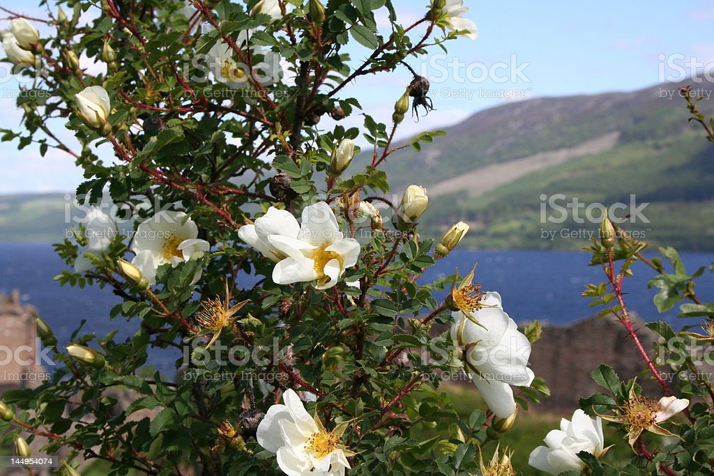 wild rose at Loch Ness in Scotland and Castle stock photo