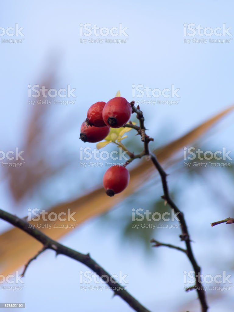 wild rose (Rosa Canina) berry stock photo