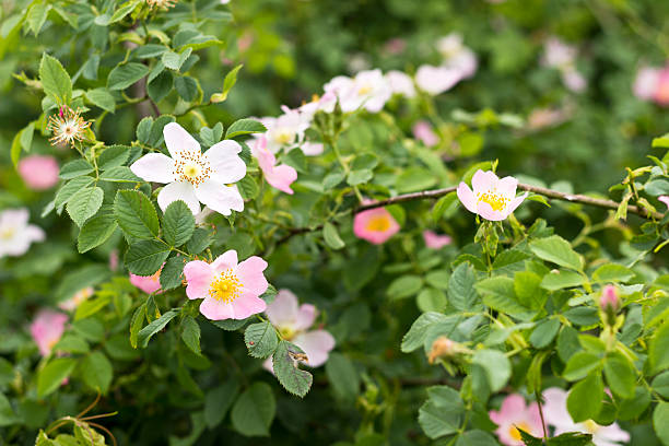 Wild rose blooming Flowers of wild rose (dog-rose) growing in nature. Selective focus wild rose stock pictures, royalty-free photos & images