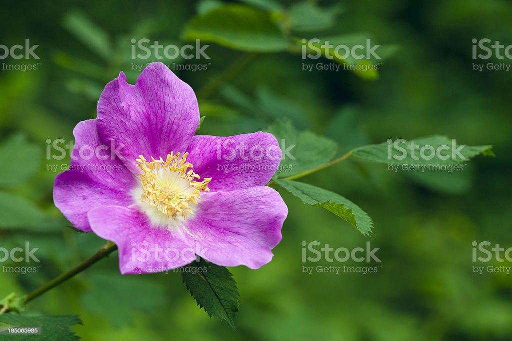 Wild Rose Blossom stock photo