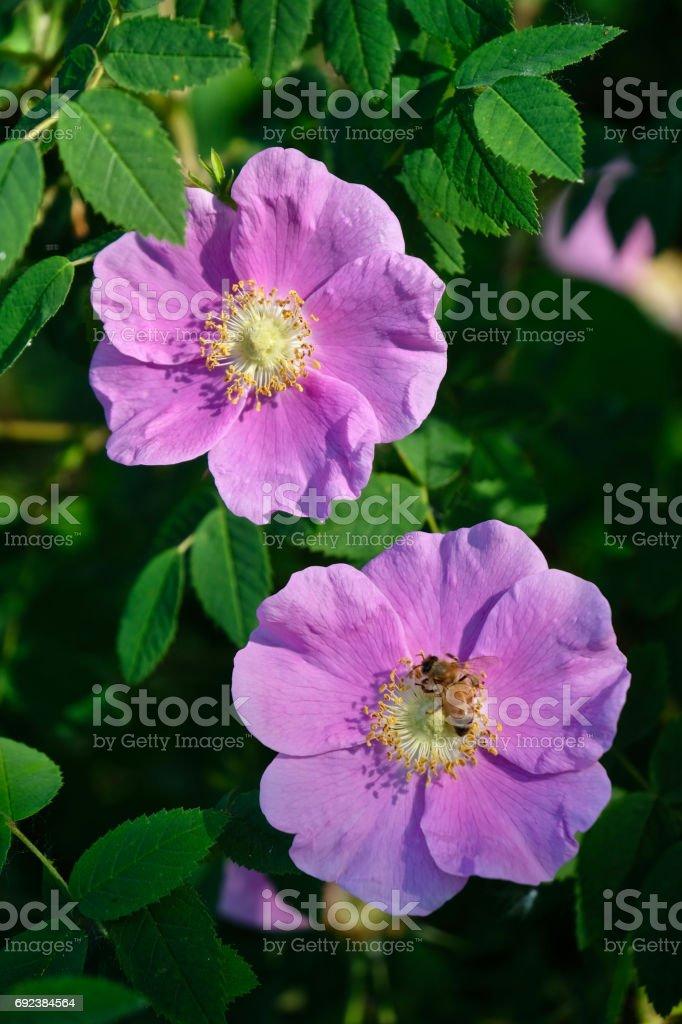 Wild Rose blossom. stock photo