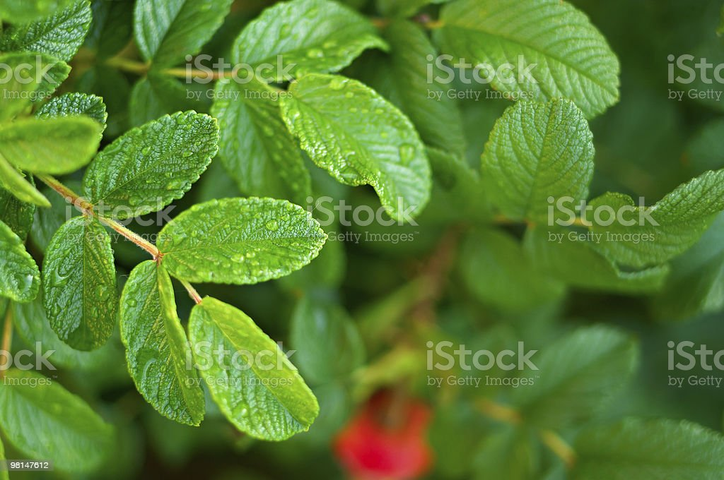 wild rose bush after rain royalty-free stock photo