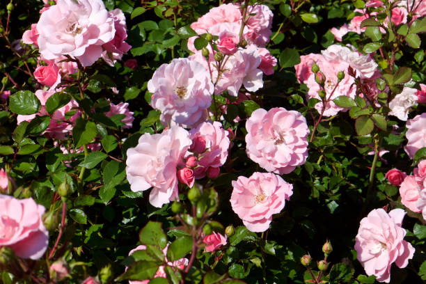 wild rose bushes with large pink flowers and dark green leaves Flower close up. Pink Floral background. Selective focus. wild rose stock pictures, royalty-free photos & images