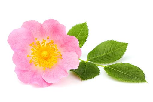 Wild rose flower isolated.