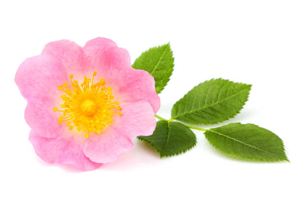 Wild rose flower isolated. Wild rose flower isolated on white background. dog rose stock pictures, royalty-free photos & images