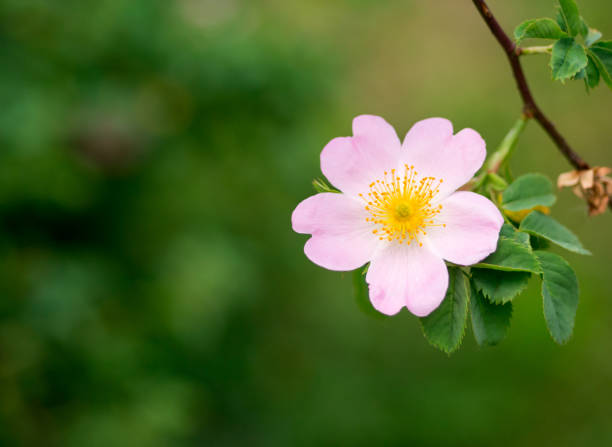 Wild rose. Rose hips on a blurred background. wild rose stock pictures, royalty-free photos & images