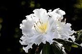 White Azalea, Wild rose in Doi Inthanon, Thailand