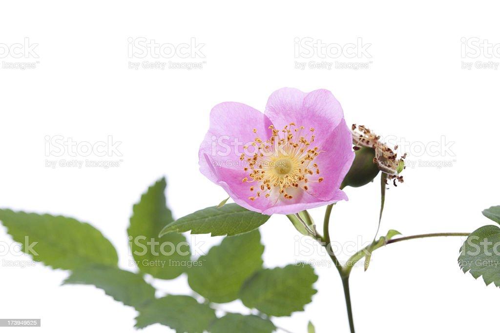 Wild Rose royalty-free stock photo