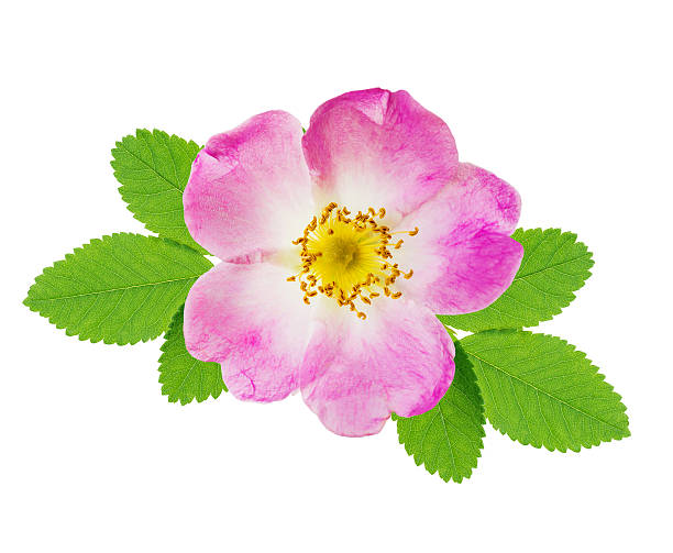 Wild rose Pink flower of wild rose with green leaves isolated over white background wild rose stock pictures, royalty-free photos & images