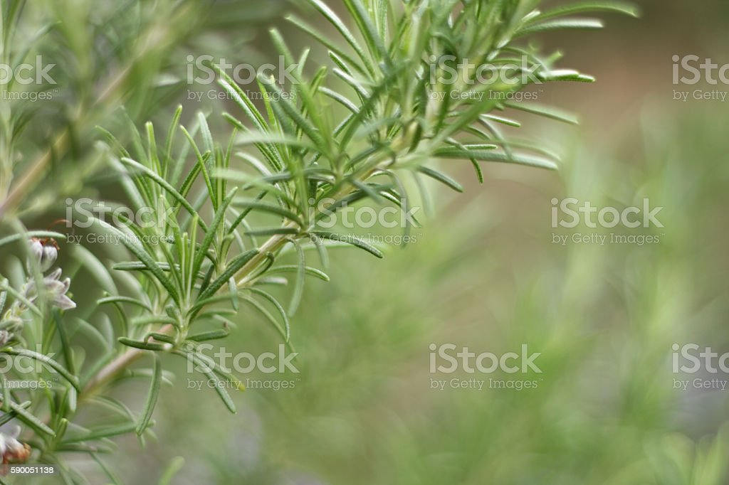 Wild rosemary, Copy space stock photo