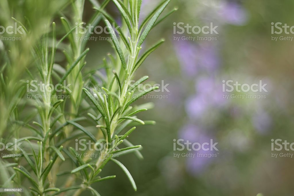 Wild Rosemary with blurry flowers stock photo