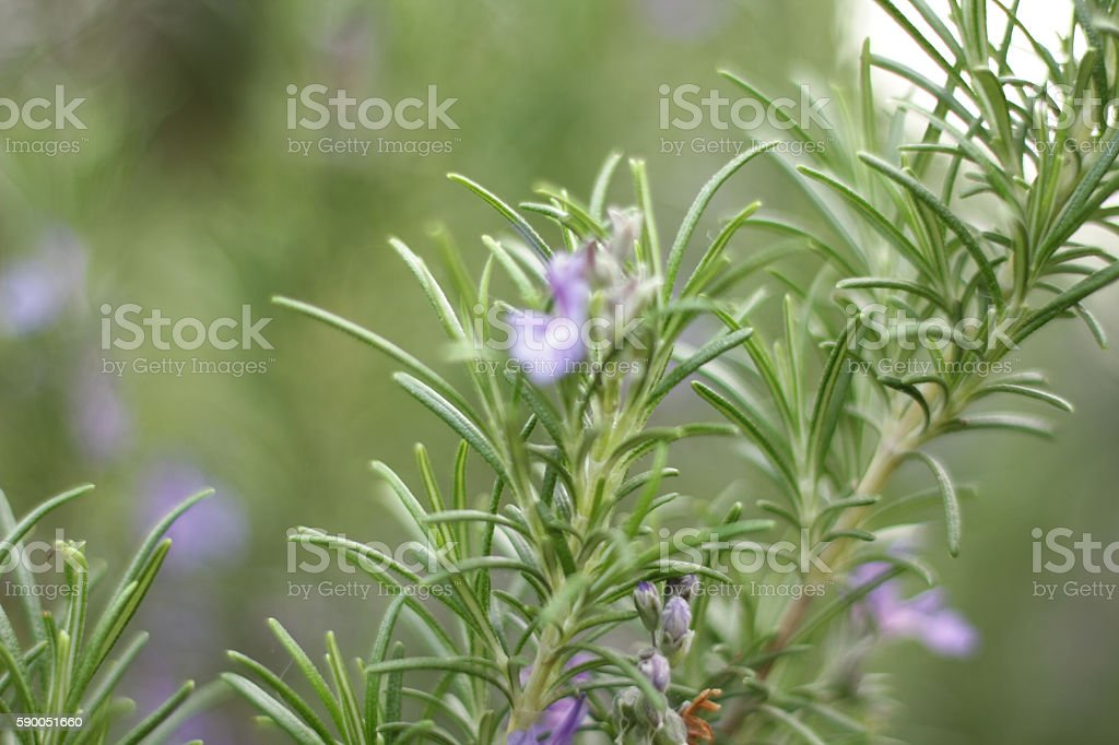 Wild rosemary with purple blurry flowers in the background stock photo