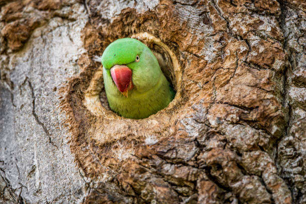 Wild rose-ringed or ring-necked parakeet peeks its head out of its nest hole in the side of a tree trunk. stock photo