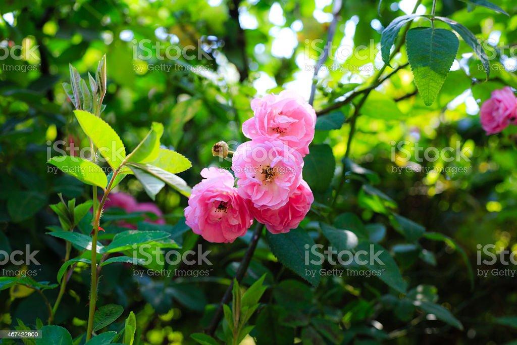 Wild roses climbing stock photo