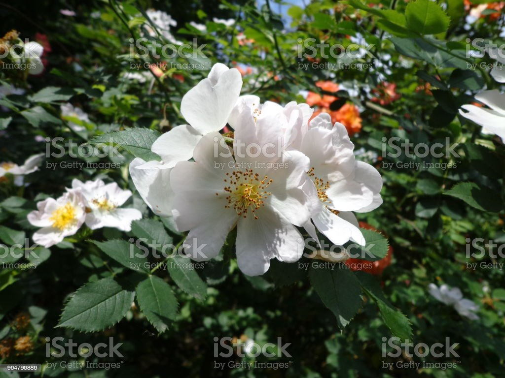 Wild roses in the spring royalty-free stock photo