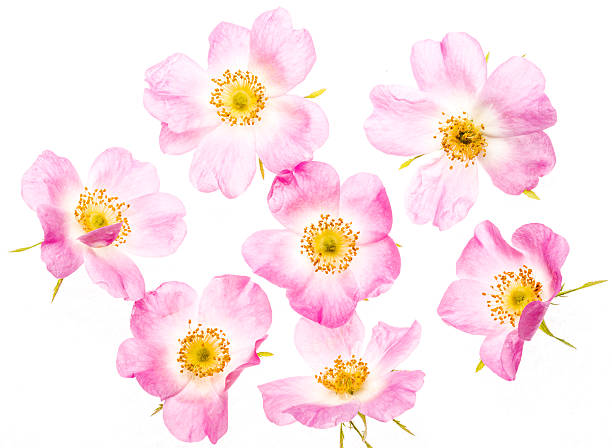 Wild roses on white Beautiful back lit pink wild roses isolated on white background wild rose stock pictures, royalty-free photos & images