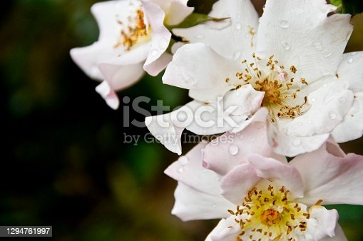 White wild roses close up