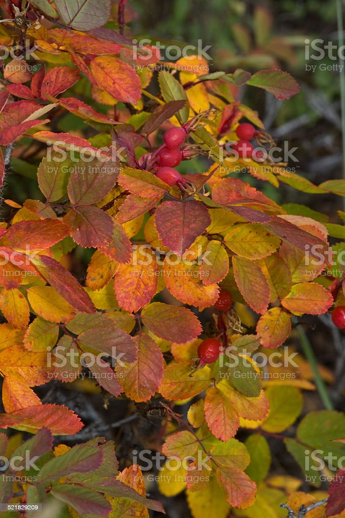 Wild roses turn red and yellow in Autumn stock photo