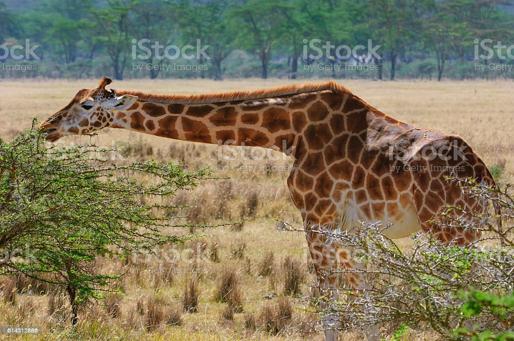Wild Rothchilds Giraffe Stretched Out stock photo