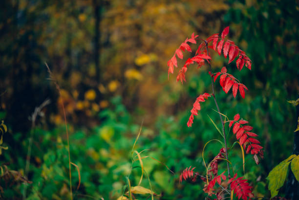wild rowan branch with vivid red leaves in autumn forest on rich flora background. fall red leaves close-up. autumn woodland backdrop with colorful vegetation. rowan fall red leaves in woods. - altai nature reserve стоковые фото и изображения