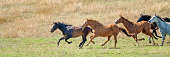 A herd of wild horses racing spectacularly across the plains on a bright sunny morning, a sight to behold