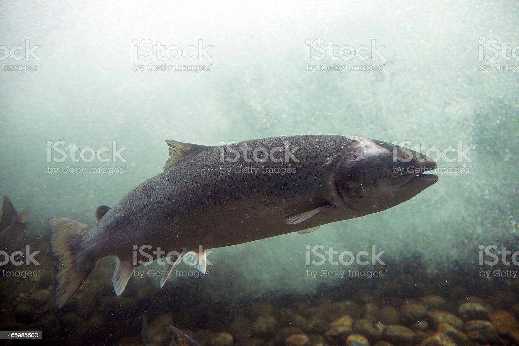 Wild salmon in a fishway (Sand, Norway) stock photo