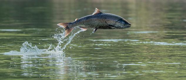 An endangered Chinook Salmon Jumps in the California Sacramento River