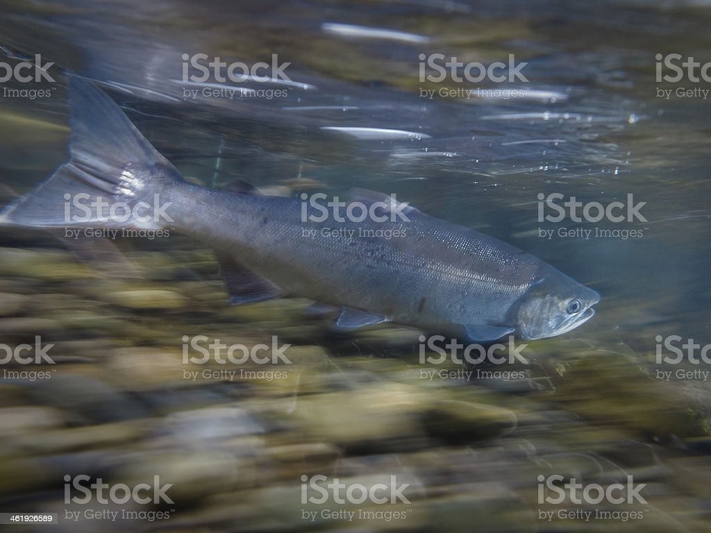 Wild salmon swimming upstream to spawning grounds in summertime Alaska stock photo