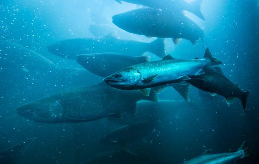 Wild salmon migrating upstream in the Columbia River, Oregon.