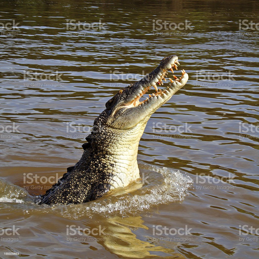 Wild saltwater crocodile jumping, Australia royalty-free stock photo