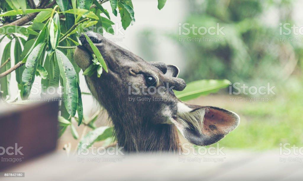 wild sambar deer in Khao Yai National park, Thailand stock photo