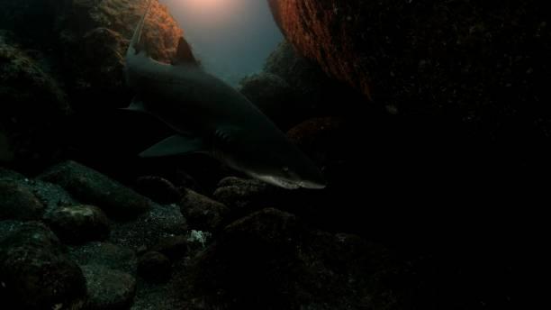 Wild Sand Tiger Shark (Carcharias taurus) in dark undersea cavern, Japan stock photo