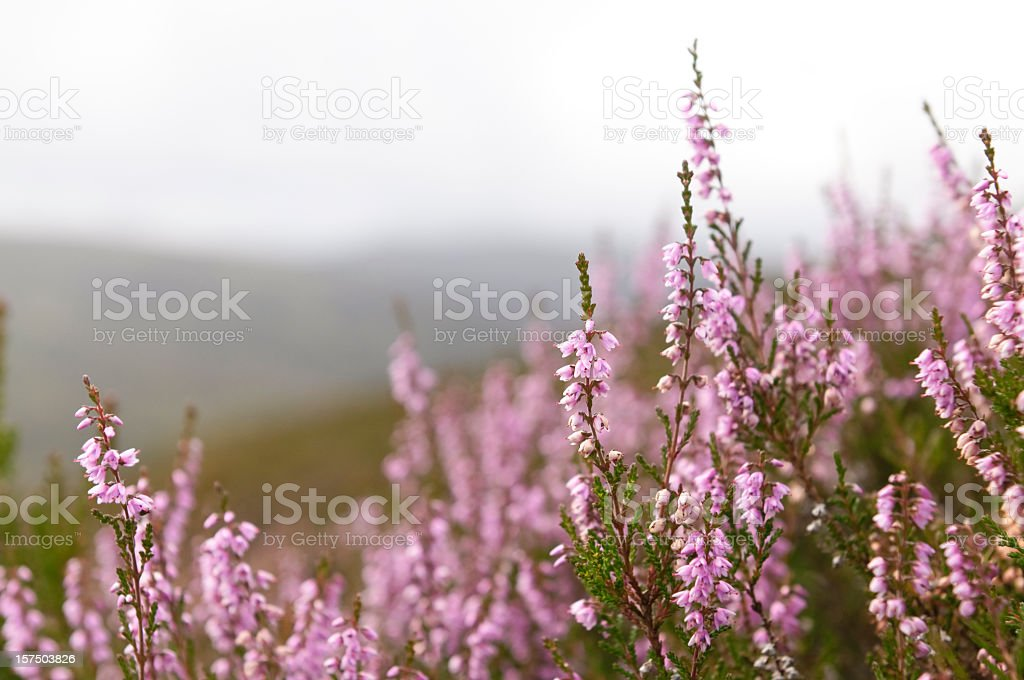 Wild Scottish Heather in the Highlands stock photo