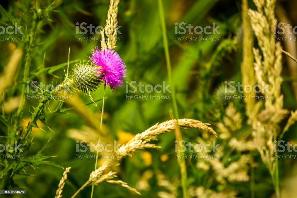 Wild Scottish thistle in native bush in long grass stock photo