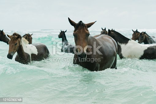 Wild Seahorses or Sandalwood Ponies (named after the Sandalwood Trees) also known as the Sea Horses of Sumba in the Indian Ocean close to the beach. Sumba - Sandalwood Island - Nusa Tenggara Timur, Indonesia, Southeast Asia