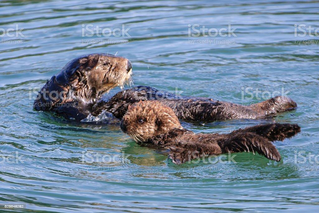 Wild Seeotter Mutter und ihr Baby – Foto