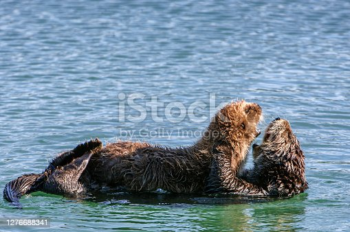 Wild sea otter (Enhydra lutris) mother and her pup floating in the bay.  The pup who still to young to swim on it's own is resting on it's mother's stomach.  Both animals are interacting vocally with each other.  Taken in Moss Landing, California, USA