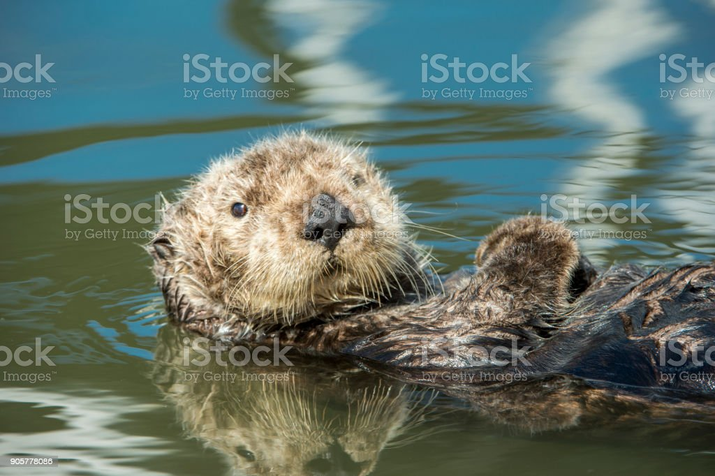Wild lataz descansando en la calma de agua al mar - foto de stock