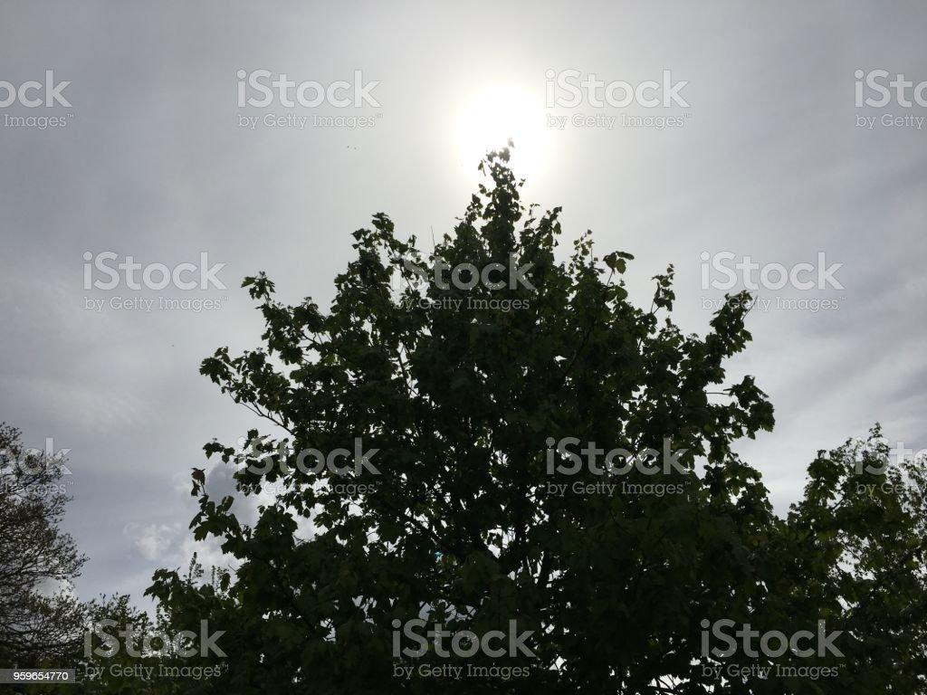 Árbol salvaje del servicio - mayo de 2018 - Foto de stock de Aire libre libre de derechos