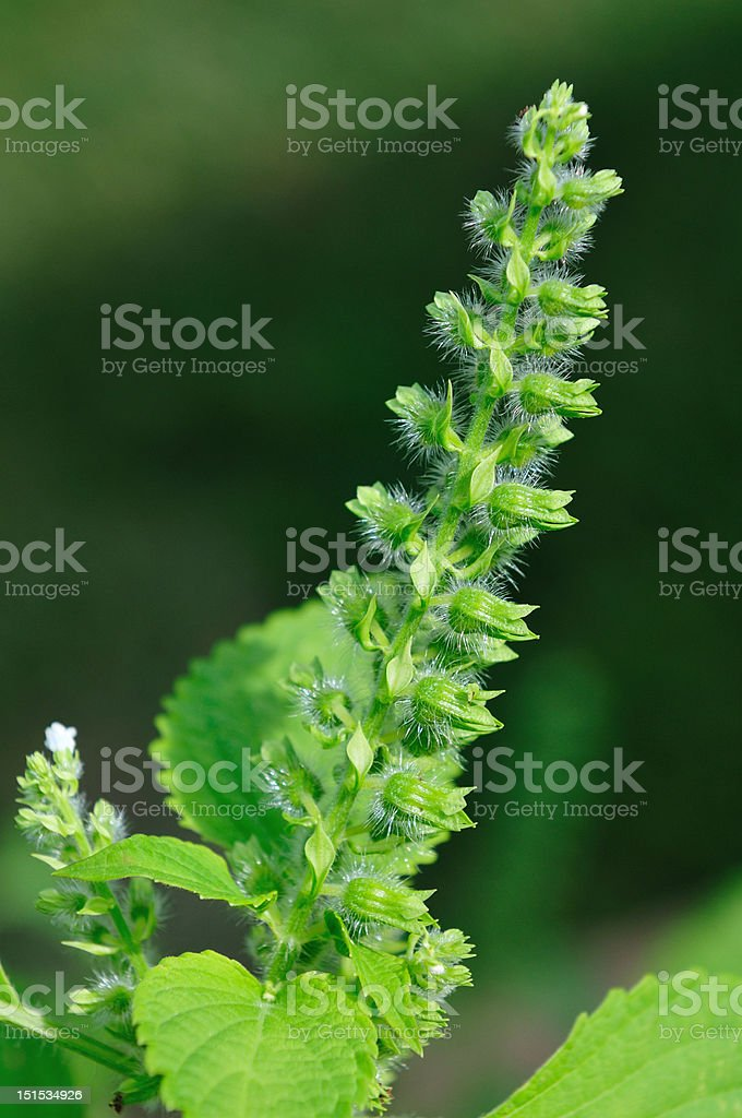 wild sesame seed flowers royalty-free stock photo