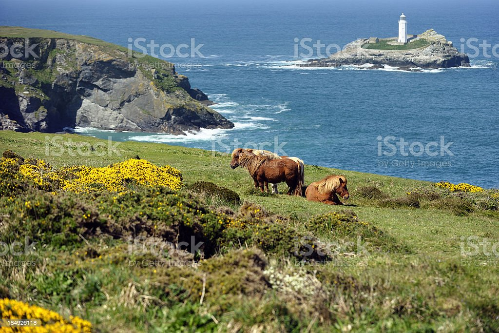 Wild Shetland Ponys stock photo