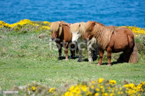 istock Wild Shetland Ponys 184985199
