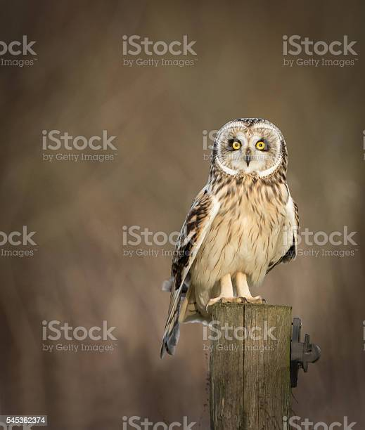Wild short eared owl sitting on fence post and looking picture id545362374?b=1&k=6&m=545362374&s=612x612&h=n t dt93bbdoowtawy6qr66ktv uqhix8rsf9ylptkg=