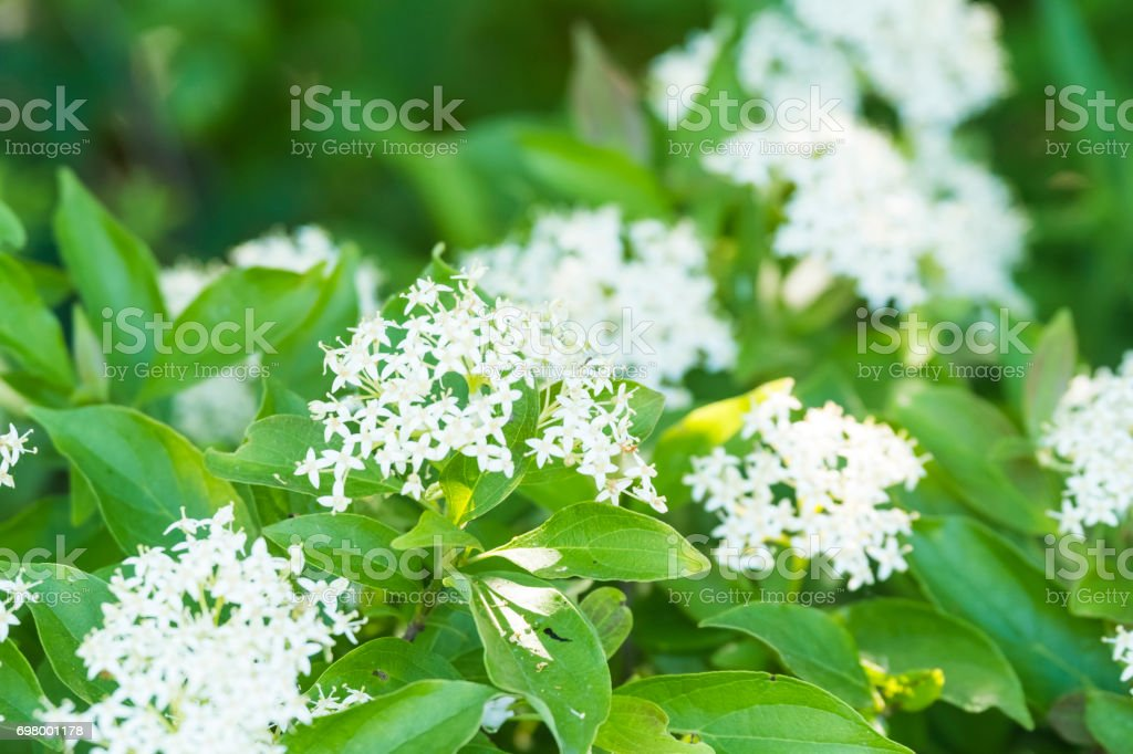 Wild Shrub Blooming With White Flowers Stock Photo More Pictures